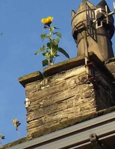 31Oct sunflower 007